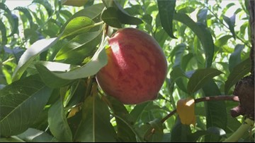Palisade peach fans will have to wait a little longer for their favorite Colorado fruit