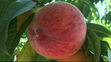 The cool spring could extend the season for peaches in Colorado this year