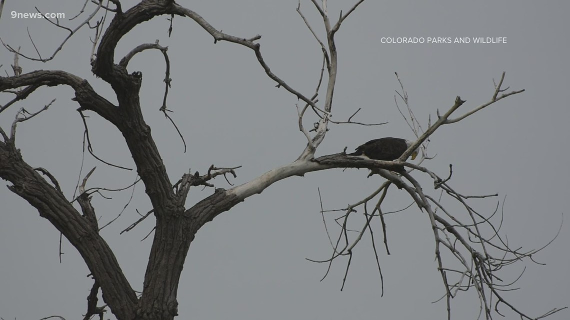Colorado takes on ambitious bald eagle study