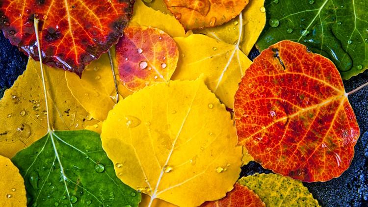 Close up of fallen aspen tree leaves fall autumn