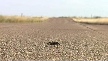 Romance is risky business for these tarantulas in southern Colorado