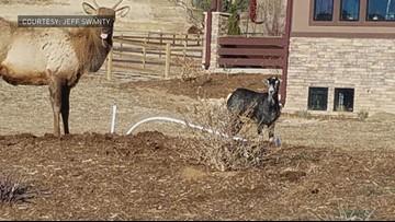 Residents report goat joining elk herd near Loveland