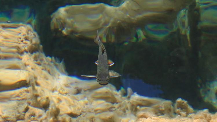 Fish swimming in Hanging Lake