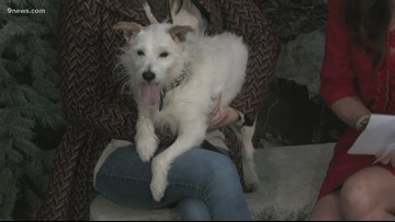 Oatmeal the Jack Russell Terrier is so cute and you need to take him home