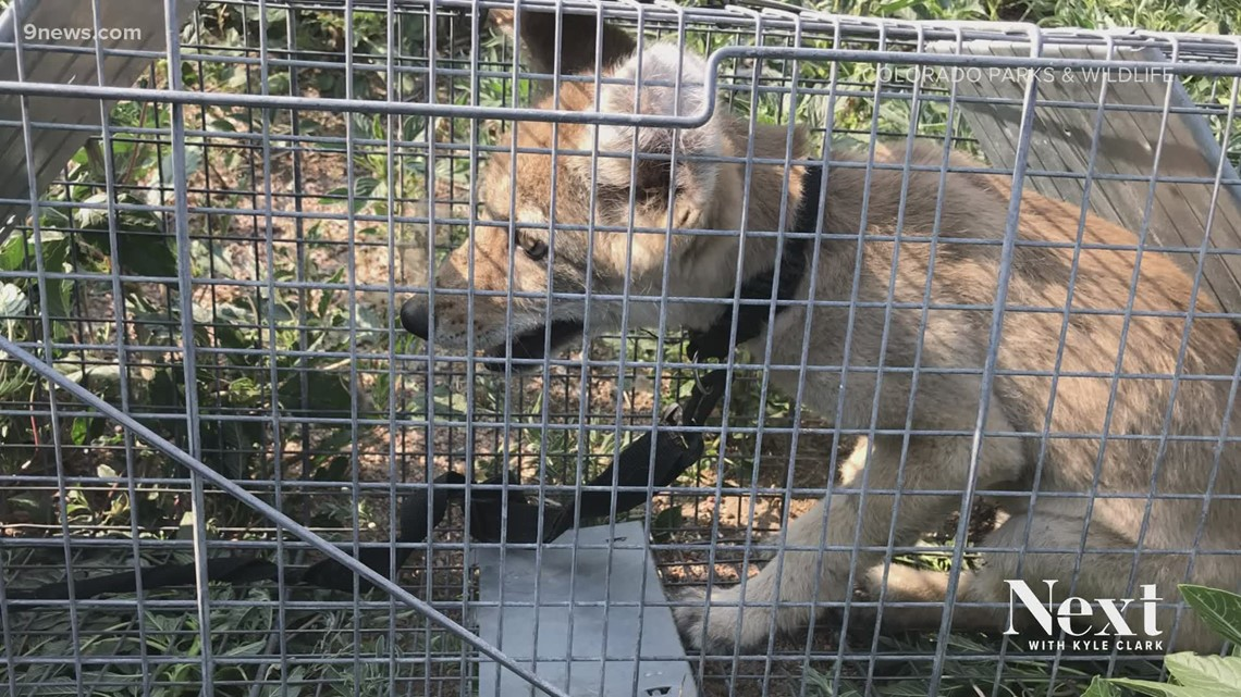 Woman bitten after people tried to play with and a pet a coyote pup, CPW says