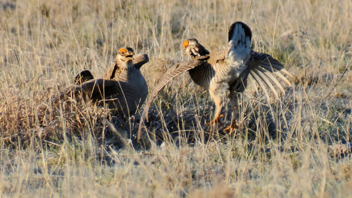 Wildlife biologists spent weeks catching lesser prairie chickens for release in Colorado