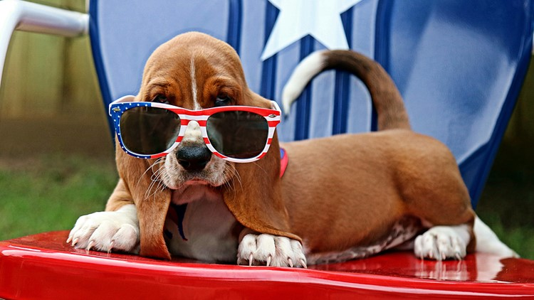 Basset hound puppy on the Fourth of July 4th of july