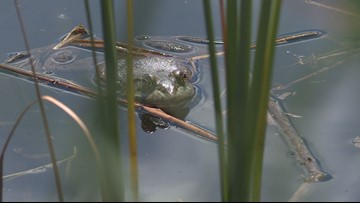 Wildlife biologists in Colorado limiting spread of invasive frogs by euthanizing them