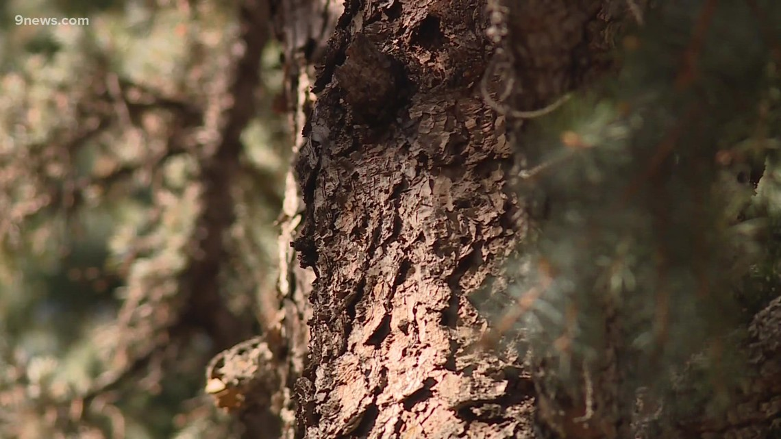 Drought conditions taking a toll on Denver's Christmas trees