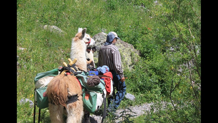 9NEWS Producer Will Swope has encountered many llamas on Colorado hiking trails. Naturally, he wanted to find out more about the growing trend. Turns out, it's a thing.