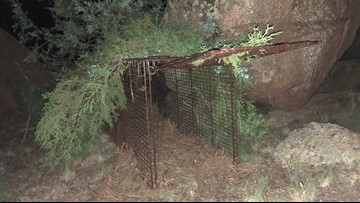 2 mountain lions euthanized after attack on 8-year-old boy in Bailey