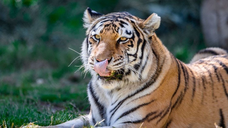 2 tigers are first animals at Denver Zoo to test positive for COVID-19