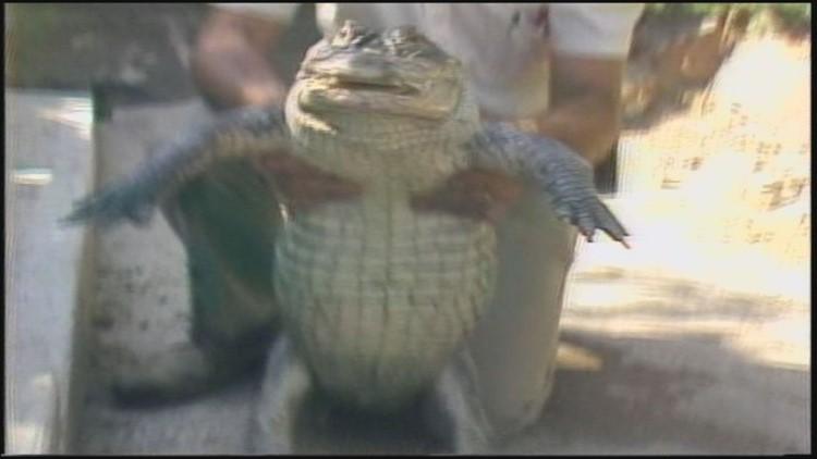 Albert the Alligator