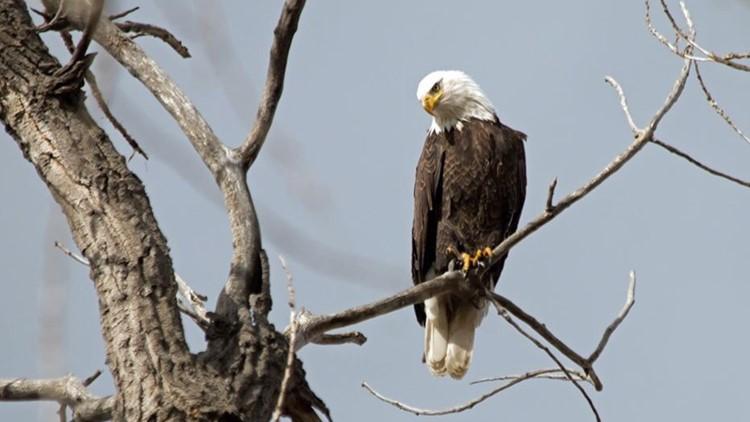 Bald eagle at Barr Lake State Park near Brighton, CO.