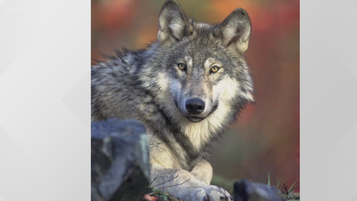 Republican state legislators  send a message as grey wolves are reintroduced west of the Continental Divide