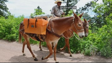 'Trout mules' carry rare fish up 6 miles of trail to their new Colorado home