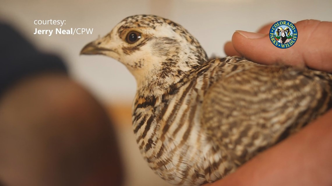 Lesser Prairie Chickens relocated from Kansas to Colorado