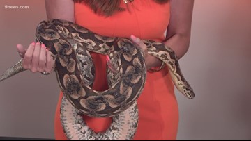 9NEWS anchor Corey Rose meets Big Momma the snake