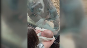 Maine mother forms unique maternal bond with gorilla