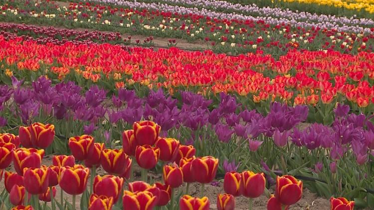 The beautiful purpose behind a North Texas tulip farm