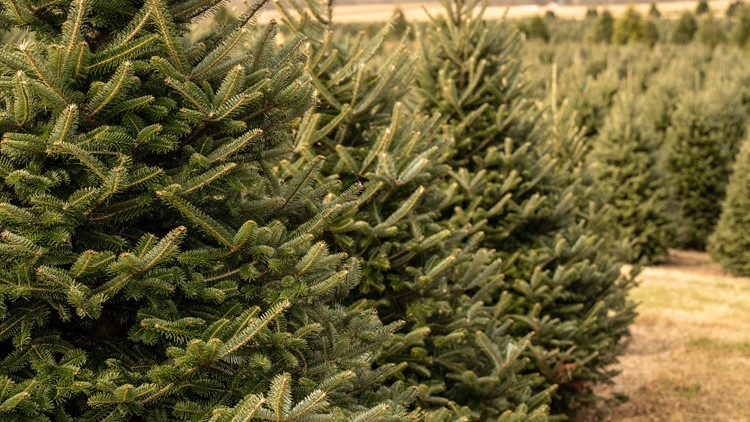 There is a Christmas tree shortage this year, here's why