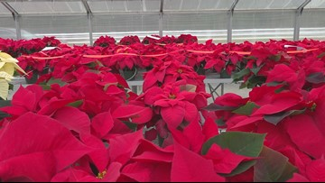 VERIFY: How toxic are poinsettias to pets?