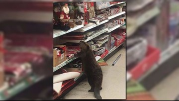 Beaver caught Christmas shopping at Md. dollar store