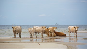 Cows cast away by Hurricane Dorian found alive on North Carolina's Outer Banks