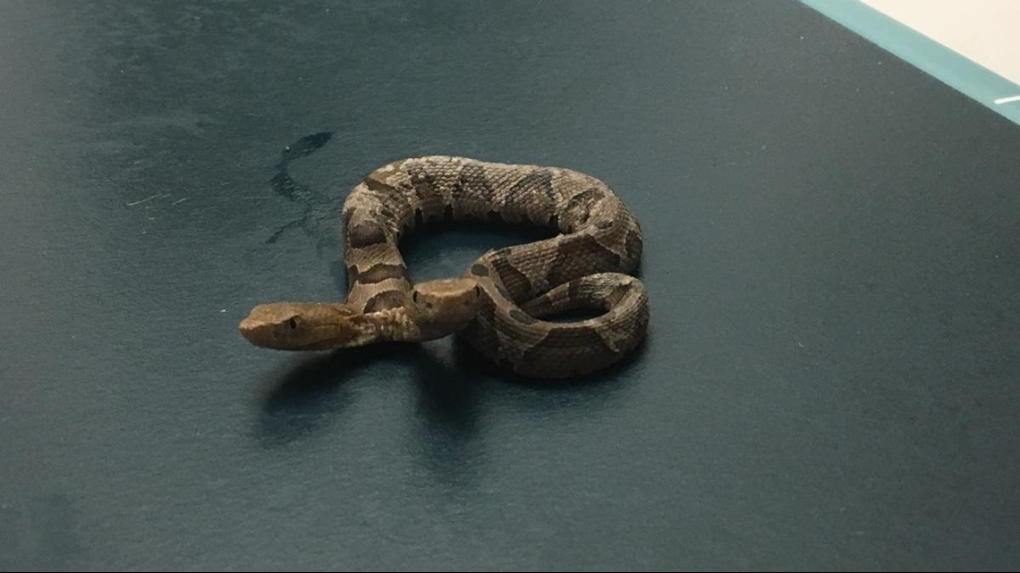 Holy snakes! 'Rare' two-headed copperhead captured in Virginia backyard