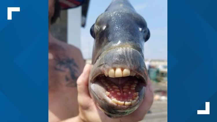 Fisherman catches fish with human-like teeth